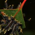 Sawffly larvae