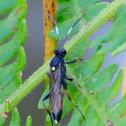 Ichnemumon Wasp