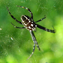 tent web spider
