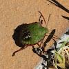 Southern Green Shieldbug