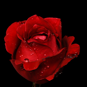 Red rose and drops by Cristobal Garciaferro Rubio - Flowers Single Flower ( petals, drop, drops, red rose, flowers, flower, petal )