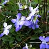 Wild Violets (Violica)