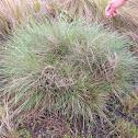 Gulf cordgrass