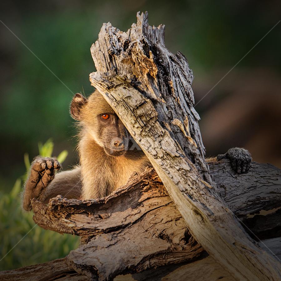 Peek-A-Boo by Paul Runze - Animals Other Mammals ( primate )
