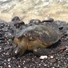 Green Turtle/Sea Turtle