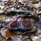Spiny Hill Turtle