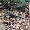 Dominican Ground Lizard