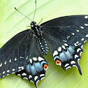 Black swallowtaill butterfly