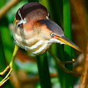 least bittern (female)