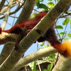 Malabar Flying Squirrel