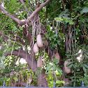 Sausage Tree (dt. Leberwurstbaum)