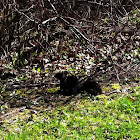 Black Squirrel, variation of Eastern Gray Squirrel