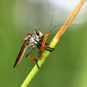 Robberfly by Edwin Yepese - Animals Insects & Spiders ( macro, insects, animal )