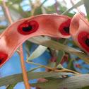 Acacia heterophylla