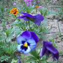 purple pansy flower
