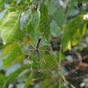 Gaint Wood Spider