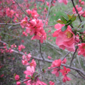 Flowering Quince by Patrick Jones - Flowers Flowers in the Wild ( quince, red blooms, spring )