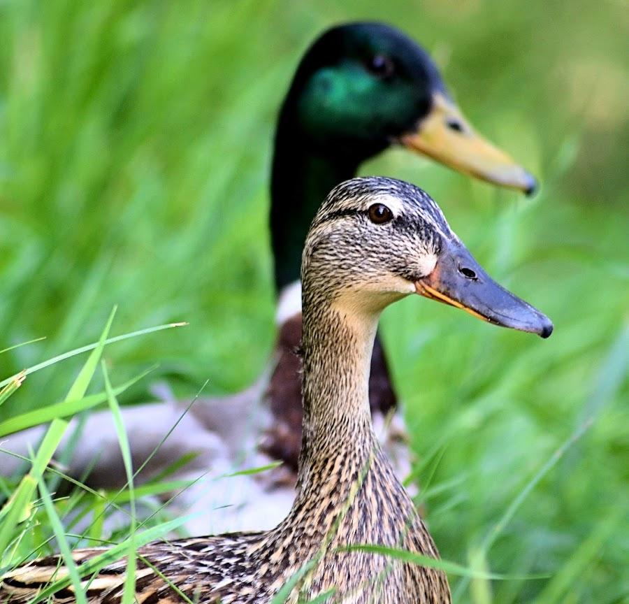 Mr and Mrs by Heather Aplin - Animals Birds ( female, grass, male, beaks, duck,  )