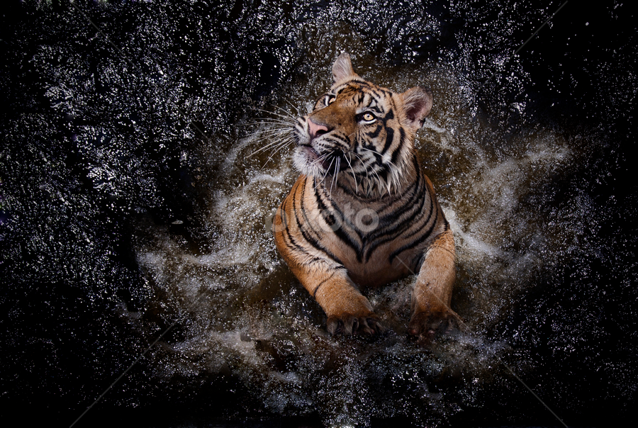 by Robert Cinega - Animals Lions, Tigers & Big Cats (  )