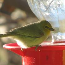 Non-hummingbirds at hummingbird feeders in New Mexico & Arizona