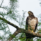 American Bald Eagle (Juvinile)