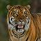 Tiger1AIMG_3229-maask-ss-cln2.jpg