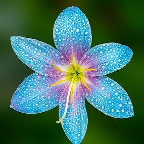 by Anshul Tiwari - Flowers Single Flower (  )