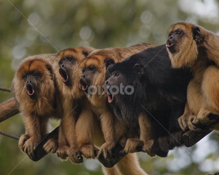 singing monkeys by Aya de Ruiter - Animals Other Mammals ( howling monkeys, howler, brulaap, monkey, howler monkeys )
