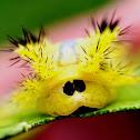 Nettle caterpillar