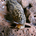 Leopard Slug