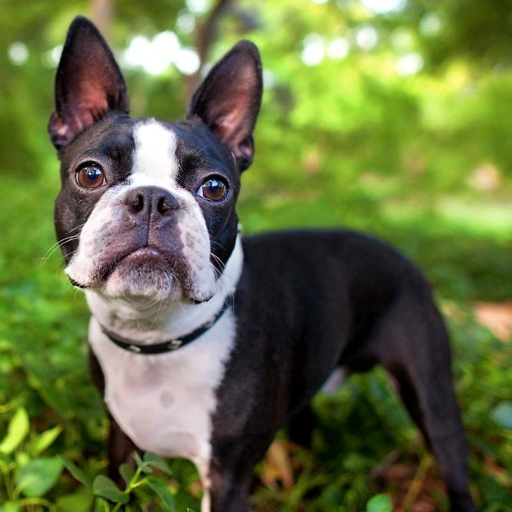 Boston Terriers Wallpapers Icon