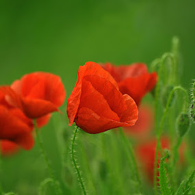 Poppies by Lazarescu Mihai - Flowers Flowers in the Wild