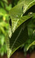 Screenshot of Leaf Water Drop free lwp