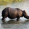 Asian One Horned Rhinoceros