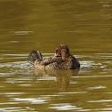 Blue-billed Duck (female with chicks)