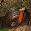 Salmon-bellied racer, Dryad snake