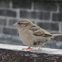 House Sparrow (Passero)