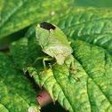 Green shield bug - kněžice trávozelená