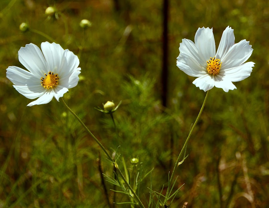Cosmos by Celia Watkins - Flowers Flowers in the Wild