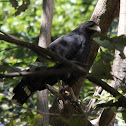 Mangrove Black Hawk
