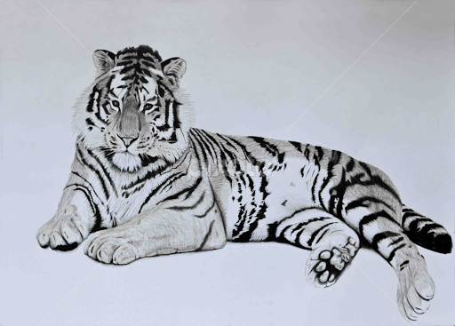 Tiger 7 by paul murray drawing all drawing pencil sketch tiger