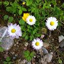 Gänseblümchen or Common Daisy