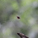 Red thorn spider