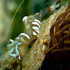Magnificent Anemone Shrimp