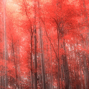 Forest in red. by Remus Lungu - Landscapes Forests ( foggy, red, tree, fog, forest )