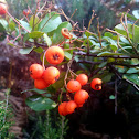 Scarlet Firethorn