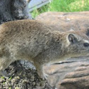Yellow Spotted Rock Hyrax