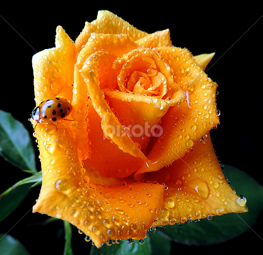 Favourite guest by Biljana Nikolic - Flowers Single Flower ( orange flower, orange color, wet orange rose, orange rose closeup, rose with ladybug, canvas, orange rose, ladybug )