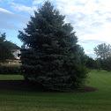 Evergreen Tree/Blue Spruce