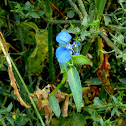 Benghal Dayflower, Tropical Spiderwort